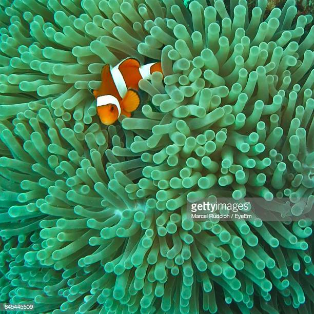 Close-Up Of Clownfish With Sea Anemone Undersea