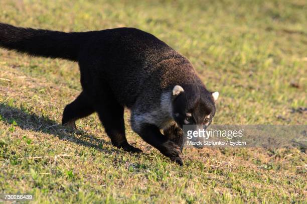 close-up of coati on field - marek stefunko stock pictures, royalty-free photos & images