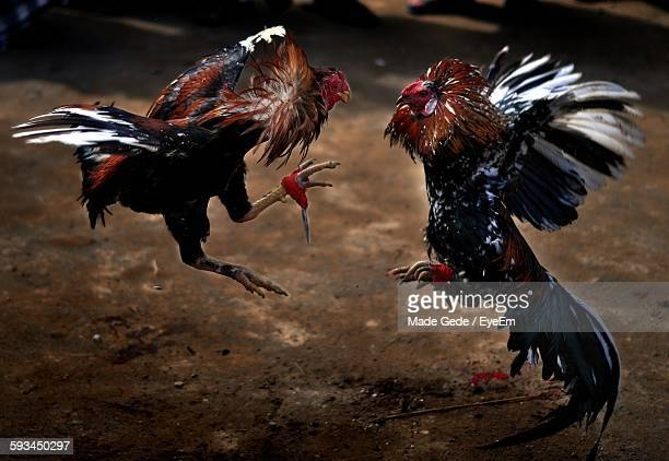 Close-Up Of Cock Fighting On Ground