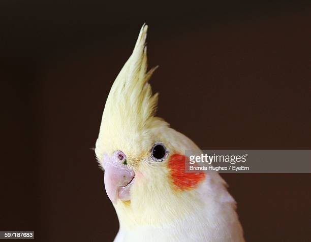 close-up of cockatiel against black background - cockatiel stock pictures, royalty-free photos & images