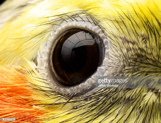 close-up of cockatiel's eye - cockatiel stock pictures, royalty-free photos & images