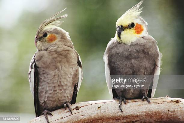 close-up of cockatiels perching on branch - cockatiel stock pictures, royalty-free photos & images