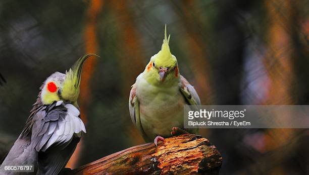 close-up of cockatiels perching on wood at zoo - cockatiel stock pictures, royalty-free photos & images