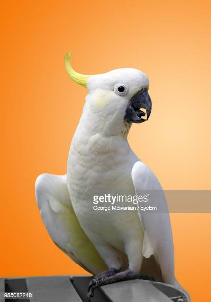 close-up of cockatoo perching on table - oiseau tropical photos et images de collection