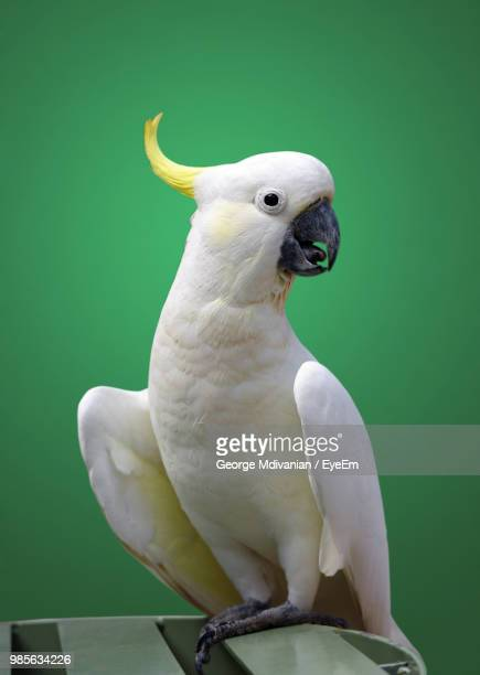 Close-Up Of Cockatoo Perching On Table