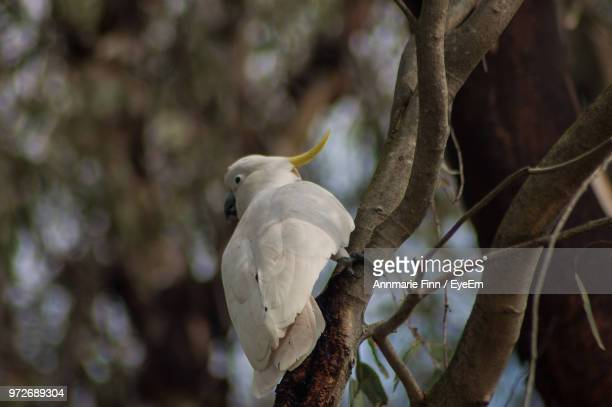 Close-Up Of Cockatoo Perching On Tree