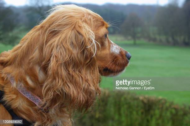 close-up of cocker spaniel dog - cocker spaniel stock pictures, royalty-free photos & images