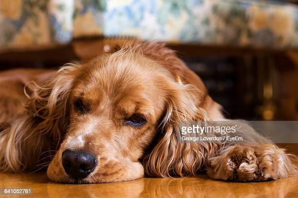 Close-Up Of Cocker Spaniel Lying On Floor