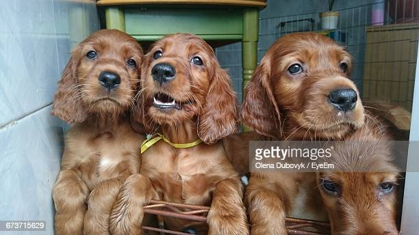 Close-Up Of Cocker Spaniel Puppies At Home