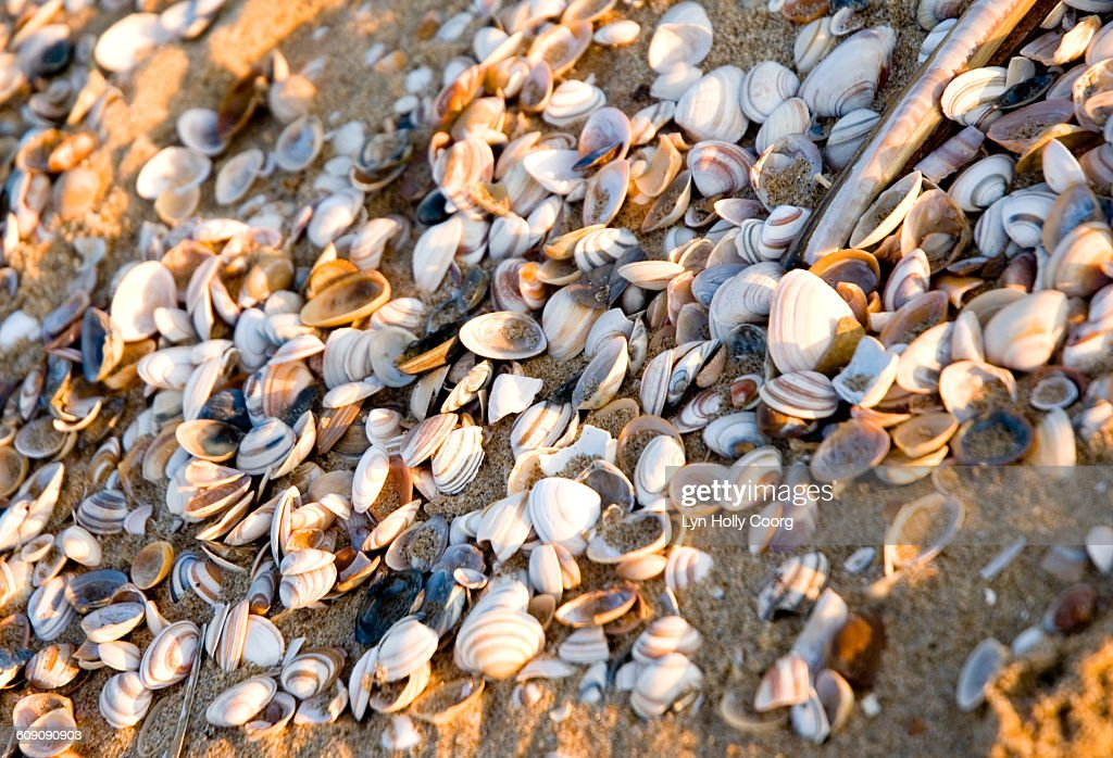 Closeup of cockle shells on sandy beach : Stock Photo