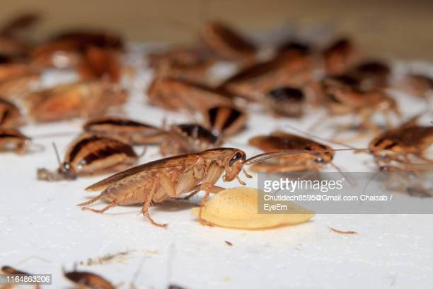 close-up of cockroaches on table - cockroach stock pictures, royalty-free photos & images