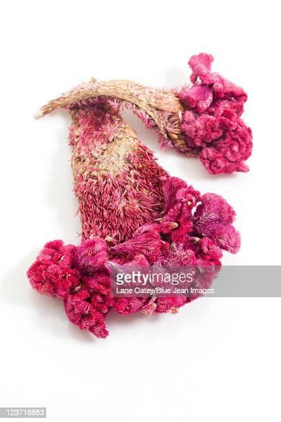 close-up of cockscomb, chinese herbal medicine - cockscomb plant - fotografias e filmes do acervo