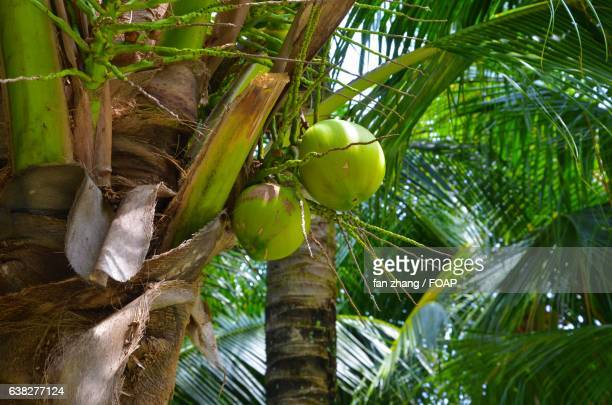 Close-up of coconut on tree