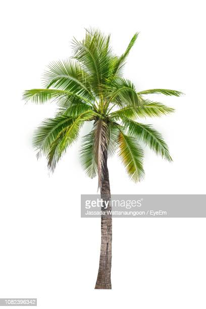 close-up of coconut palm tree against white background - palm tree stock pictures, royalty-free photos & images
