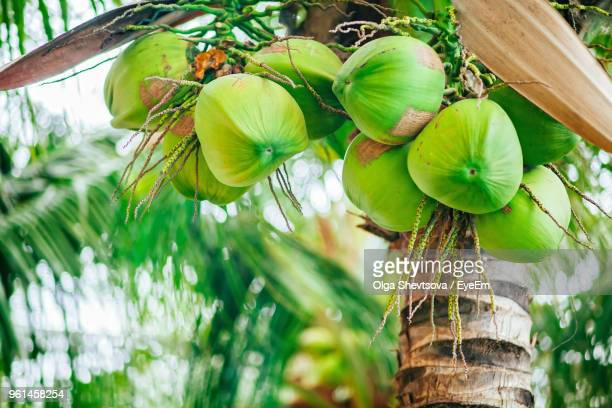 Close-Up Of Coconuts Growing On Tree