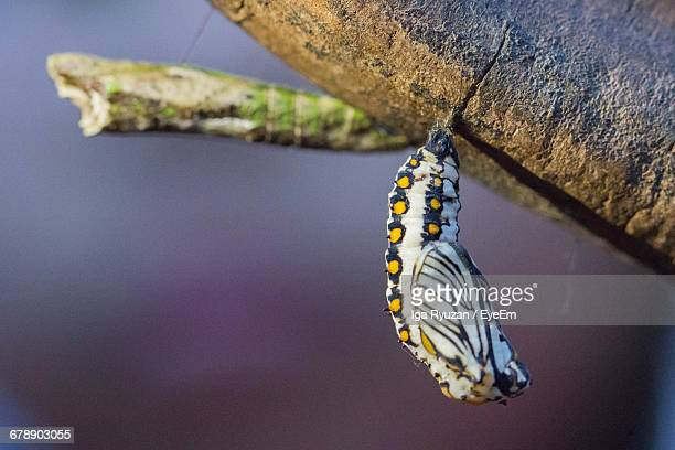 close-up of cocoon hanging from branch - puppe stock-fotos und bilder