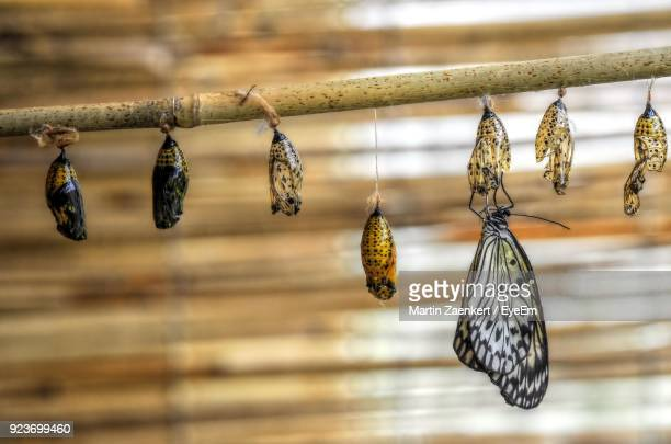 close-up of cocoons hanging from stick - cocoon stock pictures, royalty-free photos & images