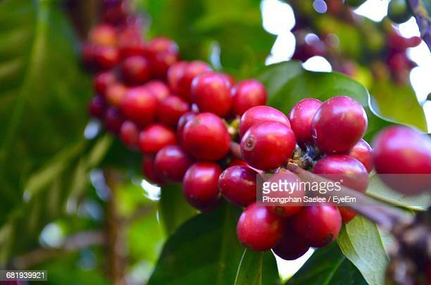 Close-Up Of Coffee Berries Growing On Plant