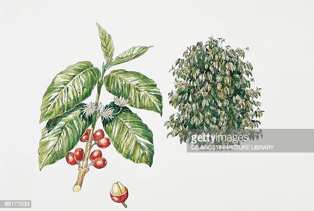 Closeup of coffee cherries growing on a plant