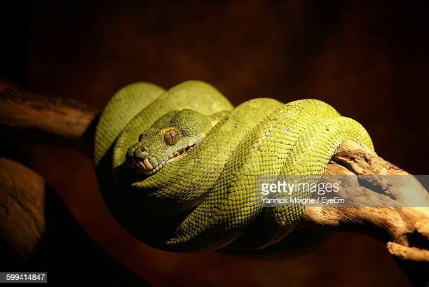 Close-Up Of Coiled Green Snake On Branch In Zoo