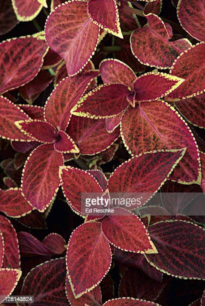 Closeup of Coleus, a perennial cultivated for showy colored foliage and native to tropical Africa, Asia, Australia, the East Indies, the Malay Archipelago, and the Philippines.