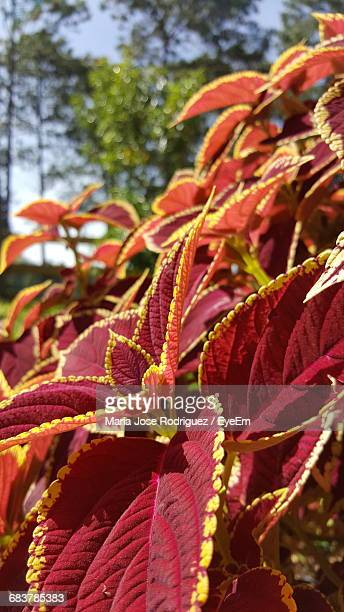 Close-Up Of Coleus Plant Growing Outdoors On Sunny Day
