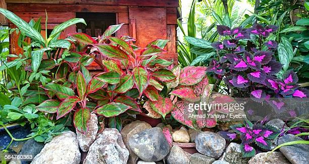 Close-Up Of Coleus Plants With House