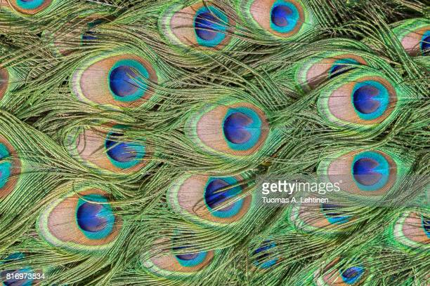 close-up of colorful peacock (indian peafowl or blue peafowl (pavo cristatus)) feathers. - paon photos et images de collection
