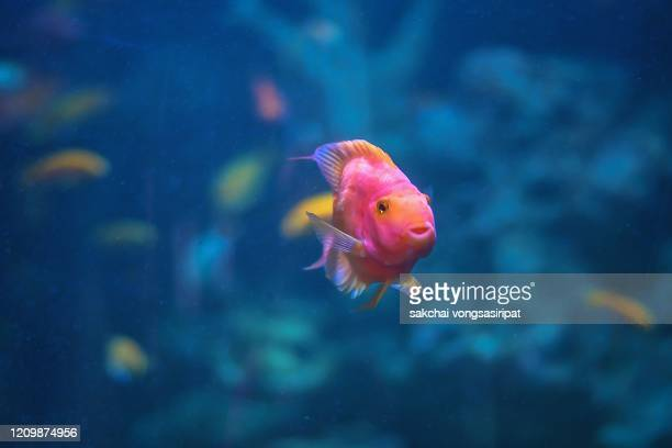 close-up of colorful tropical fish in tank aquarium, thailand, asia - storage tank stock pictures, royalty-free photos & images