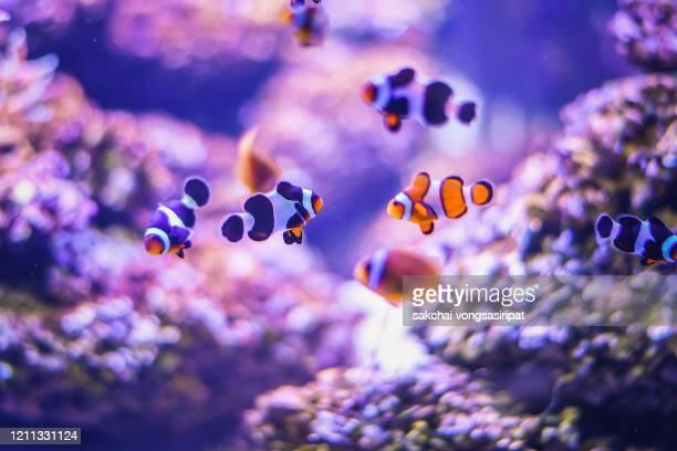close-up of colorful tropical fish in tank aquarium, thailand, asia - 熱帯魚 ストックフォトと画像