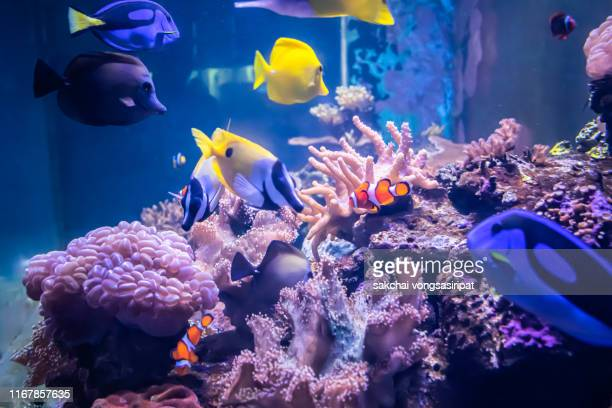 close-up of colorful tropical fishs in tank aquarium - aquatic organism stock pictures, royalty-free photos & images