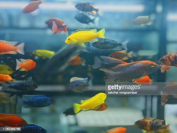 close-up of colourful tropical fishs in tank aquarium, thailand - aquatisches lebewesen stock-fotos und bilder
