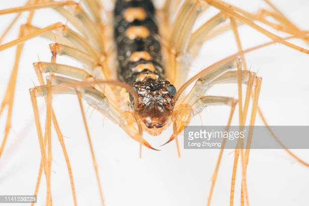 closeup of common house centipede - centipede stock pictures, royalty-free photos & images