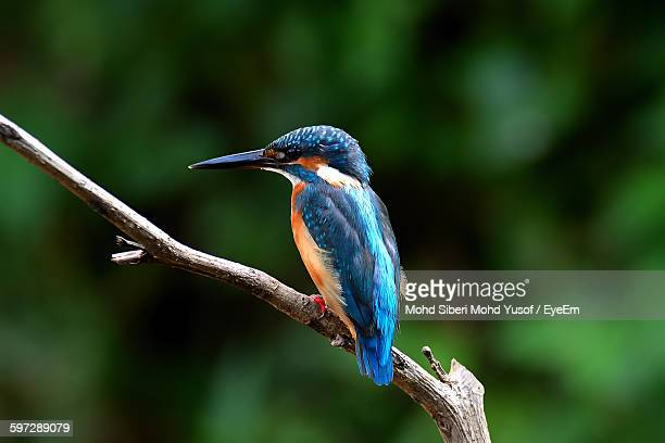 close-up of common kingfisher perching on branch - common kingfisher stock photos and pictures