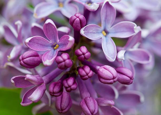 Closeup of common Lilac (Syringa vulgaris)