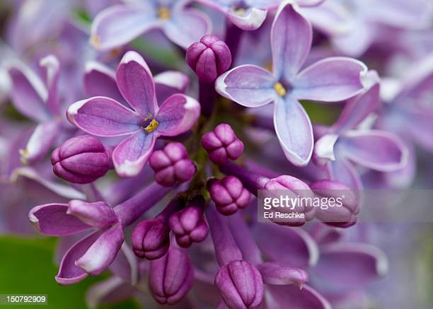 closeup of common lilac (syringa vulgaris) - purple lilac stock pictures, royalty-free photos & images
