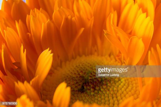 close-up of common marigold flower (calendula) - susanne ludwig stock pictures, royalty-free photos & images