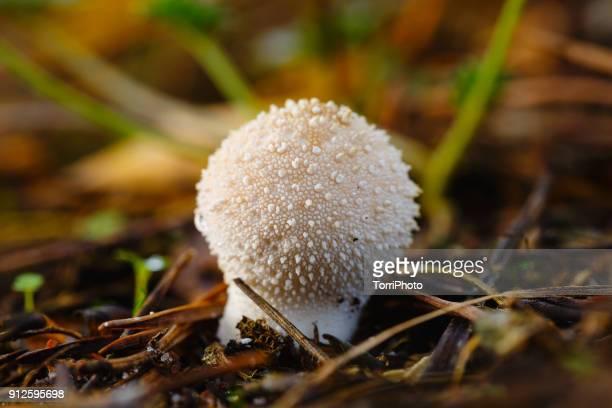 close-up of common puffball in autumn forest - seta pedo de lobo fotografías e imágenes de stock