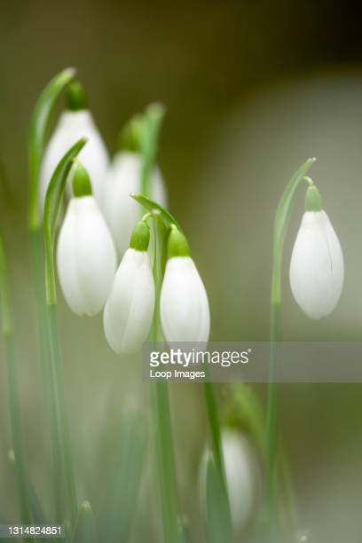 Close-up of Common Snowdrops in flower in an English woodland in winter.