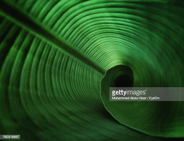 Close-Up Of Coned Banana Leaf