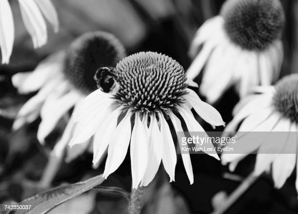 Close Up Of Coneflowers Blooming Outdoors