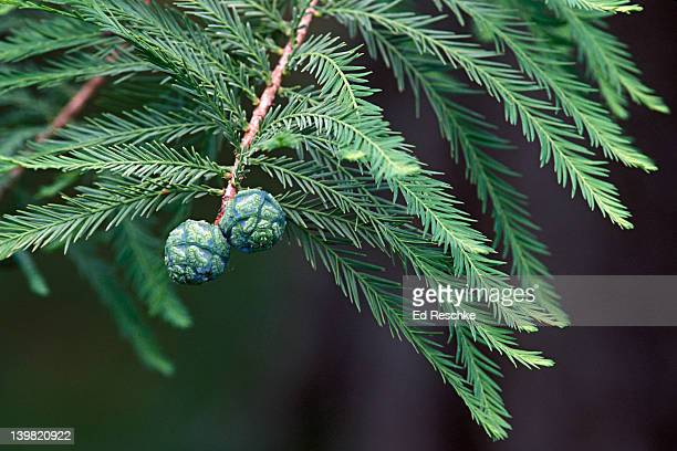 closeup of cones of bald cypress, taxodium distichum, in swamp, southeastern usa - bald cypress tree stock pictures, royalty-free photos & images