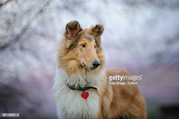 Close-Up Of Contemplative Collie Dog