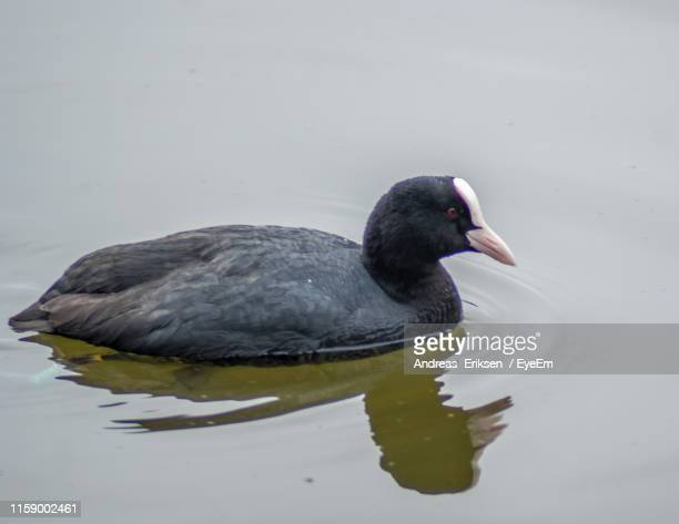 close-up of coot swimming in lake - eriksen stock pictures, royalty-free photos & images