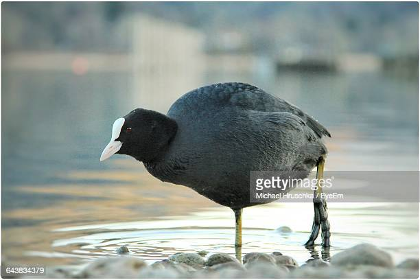 close-up of coot walking on lake - michael hruschka stock pictures, royalty-free photos & images