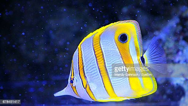 Close-Up Of Copperband Butterflyfish Swimming In Sea