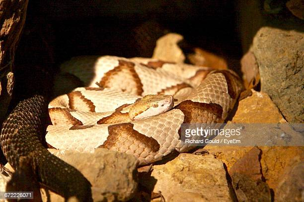close-up of copperhead snake coiled on rocks - copperhead snake stock pictures, royalty-free photos & images