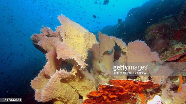 close-up of coral in sea,banggai kepulauan regency,central sulawesi,indonesia - central sulawesi stock pictures, royalty-free photos & images