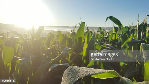 Close-Up Of Corn Crops Growing At Farm