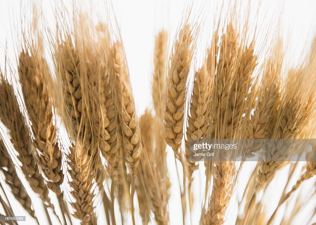 Close-up of corn ear : Stock Photo